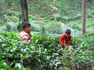Kids working in the tea plantation
