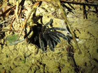 Burrowing spider