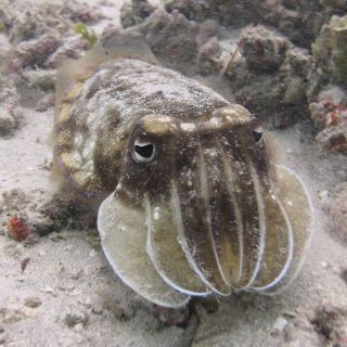 Mellow cuttlefish